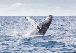 baleine-islande